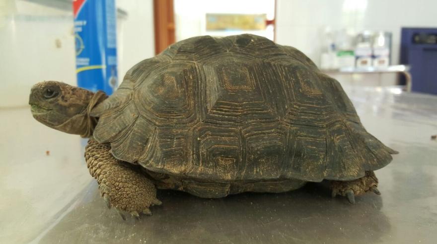 Rescatan 29 tortugas terrestres en peligro de extinción | Fotos — Piura