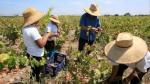 Agroexportación generaría 1.7 millones de puestos de trabajo - Noticias de juan varilias