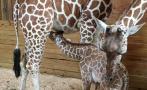 Video de jirafa genera caudal de dinero para zoológico