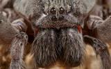 Nueva especie de araña sorprende a expertos por su gran tamaño