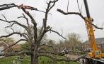 Derriban en EE.UU. árbol que vivió 600 años