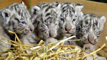Zoológico en Austria presenta cuatrillizos de tigre blanco