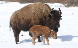 Nace el primer bisonte luego de 140 años en Canadá