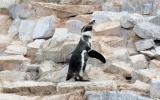 Parque de las Leyendas celebró el Día Mundial del Pingüino