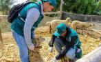 Áncash: vacunan a 500 animales contra el ántrax y peste porcina