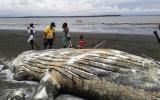 Colombia: Hallan a una ballena jorobada muerta en una playa