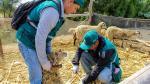 Áncash: vacunan a 500 animales contra el ántrax y peste porcina - Noticias de la peste