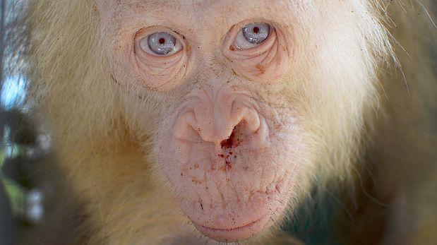 Descubren y rescatan a orangutana albina en la Isla de Borneo