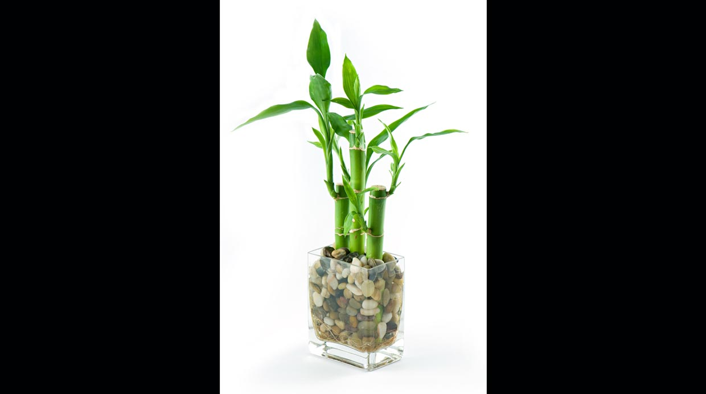 Dinos qu deseas y te diremos qu plantas debes tener en for Plantas que se deben tener en casa segun feng shui