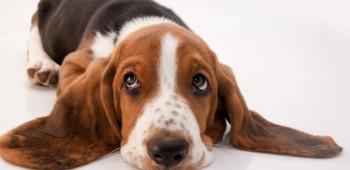 Cuida los oídos de tu mascota