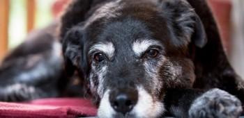Cuidados para tu perro anciano