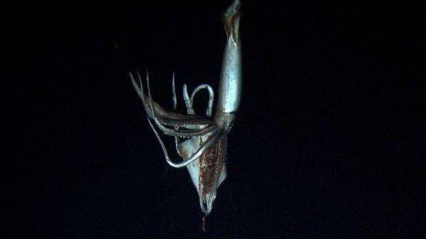 Un calamar gigante fue grabado por primera vez en las profundidades del océano