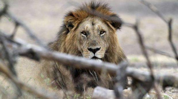 Población de leones en África disminuyó de 200 mil a 15 mil en 30 años