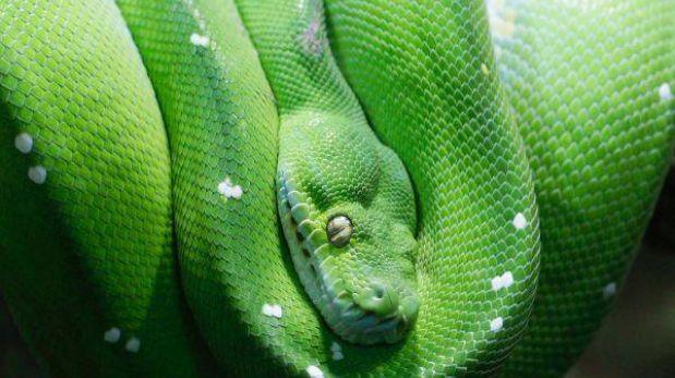 Florida premiará con US$ 1.500 al que cace más serpientes pitón