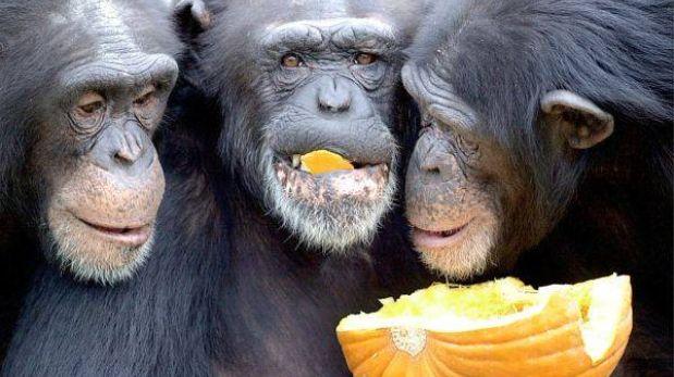 Chimpancés y orangutanes pueden recordar experiencias de hace tres años
