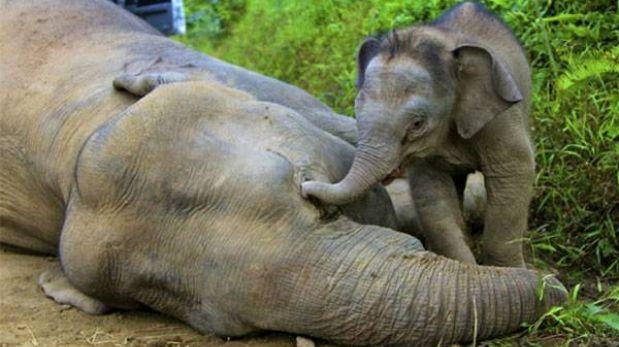 Caza furtiva de elefantes en Gabón está fuera de control