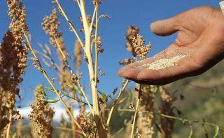 Precio actual de la quinua no permite que sea consumida por los más pobres