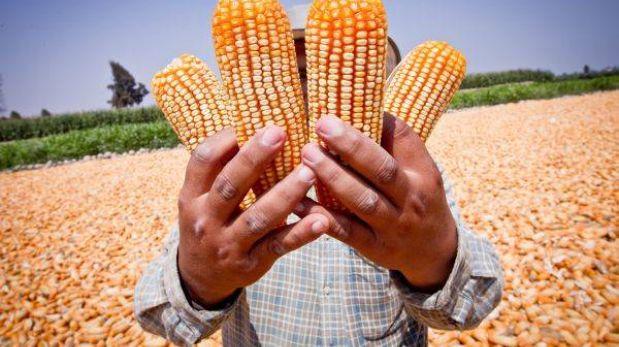 Hace 5.000 años ya se cultivaba y consumía maíz en Perú, confirman investigadores