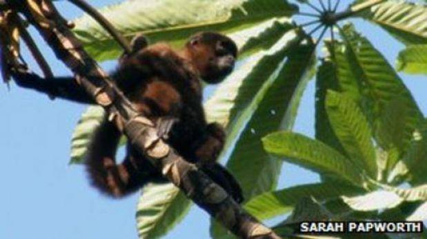 Especie de mono en el Perú sabe identificar quién lo viene a cazar