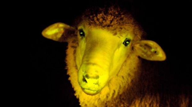 Primeros corderos genéticamente modificados en Sudamérica son fosforescentes