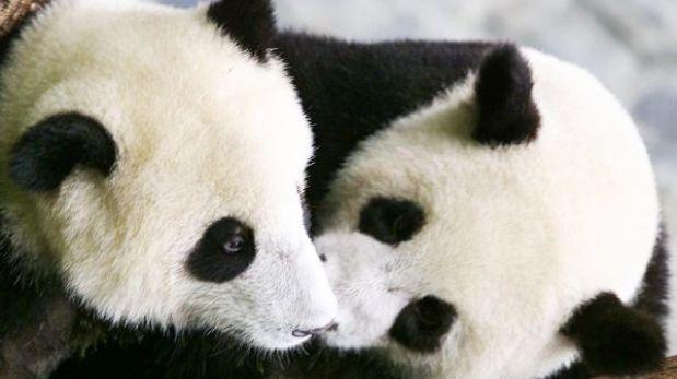 Osos panda gemelos viajarán de Madrid a China para perpetuar la especie