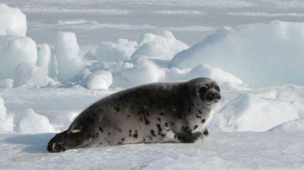 La Unión Europea mantiene la protección sobre las focas
