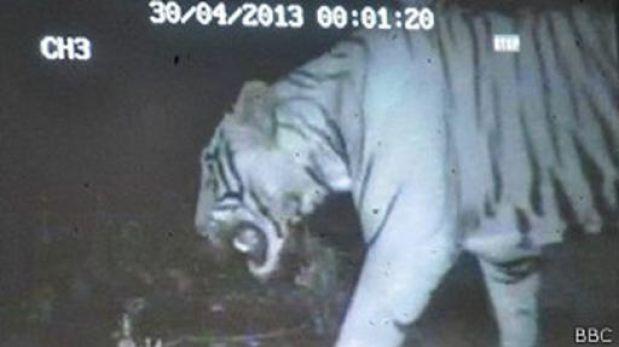Un tigre irrumpió en un zoológico indio en busca de su pareja