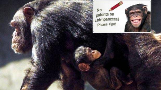 Alemania: quieren frenar patente de chimpancé modificado genéticamente