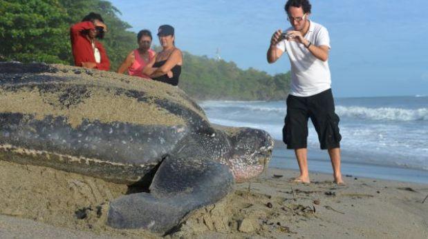 La tortuga laúd se recupera de la extinción y vuelve a las playas del Caribe