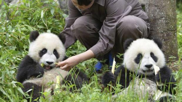 Los pandas madrileños Po y De De ya están en China, su nuevo hogar