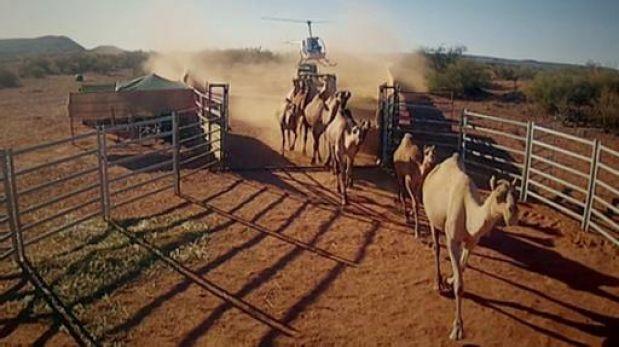 Los camellos se han convertido en una plaga en Australia