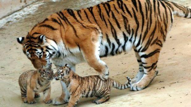 China admite pocos avances en lucha contra extinción de tigre siberiano