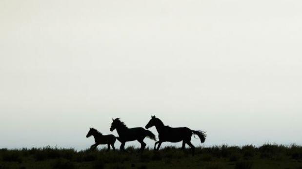 Australia autorizó la matanza de 10.000 caballos salvajes