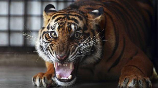 Tigre en cautiverio mató a trabajadora de zoológico británico