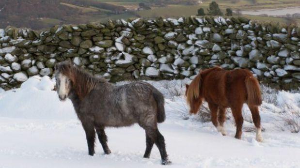 Los ponis salvajes Carneddau, una especie única y protegida a tiempo