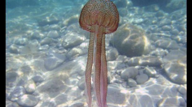 Primero fueron insectos, ahora la FAO recomienda comer medusas