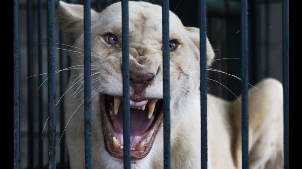 FOTOS: rescatan leones y otras especies salvajes en una casa de Bangkok