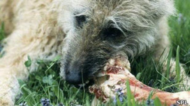 El virus de los perros que amenaza a los grandes felinos
