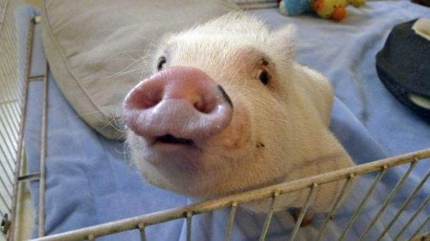 ¿Se debe o no producir órganos humanos en animales?