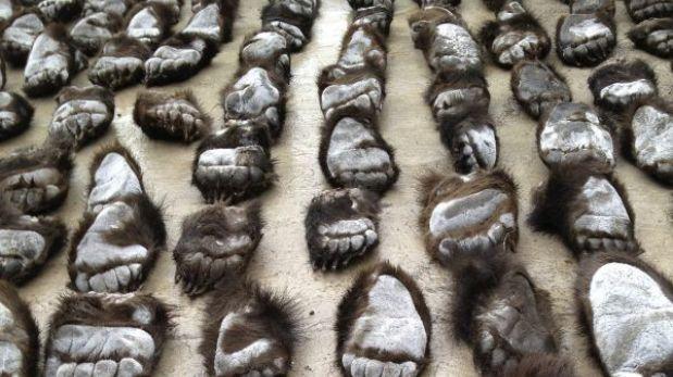 Decomisaron 213 patas de oso pardo introducidas ilegalmente en China