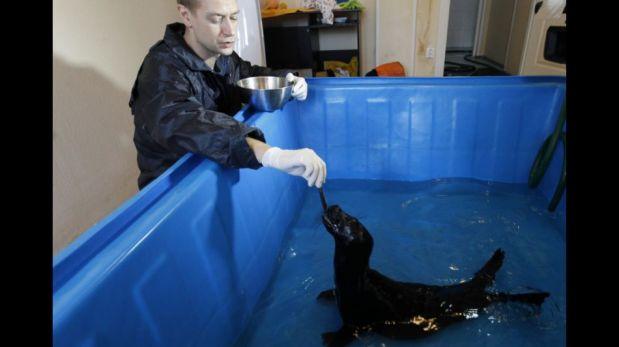 FOTOS: dos focas bebes reciben tratamiento especial en Rusia