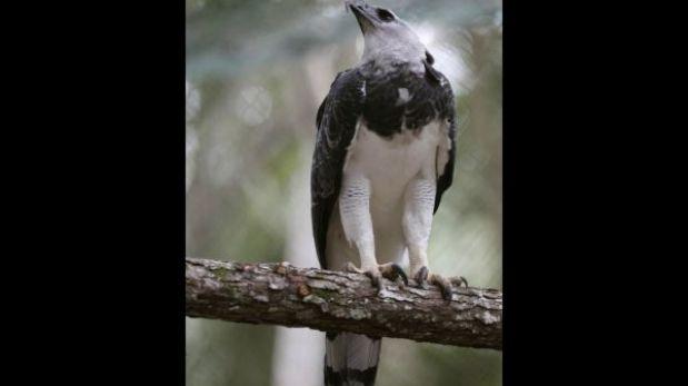 Águila harpía nacida en cautiverio fue llevada a Panamá