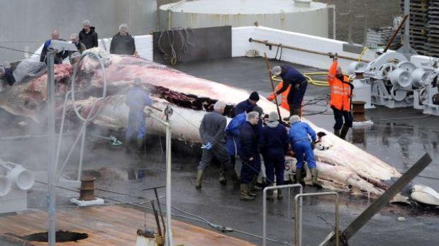 Reanudan la controvertida caza de ballenas en Islandia