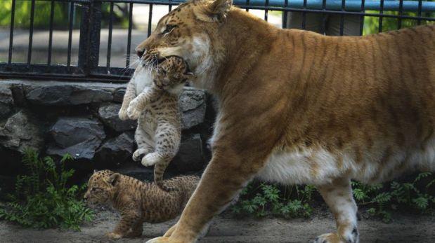 FOTOS: tres pequeños liligres juguetean en un zoológico ruso
