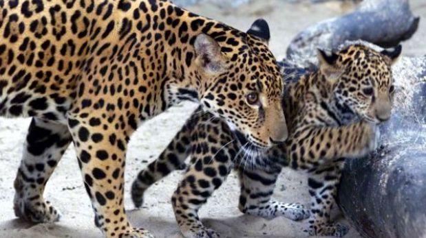 Lanzan llamado para salvar a los jaguares en Latinoamérica