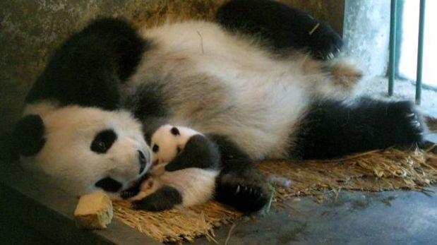 Nació un cachorro de oso panda en cautiverio en Taiwán