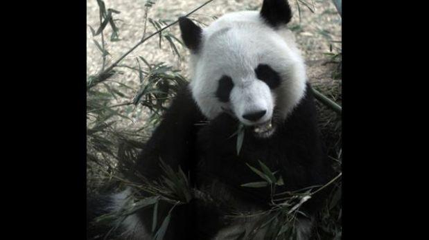 Panda gigante dio a luz los primeros mellizos en Estados Unidos desde 1987