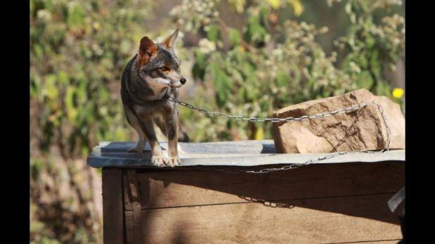 FOTOS: Pepe, el puma andino que vive encerrado ilegalmente en Contumazá