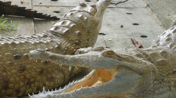 El cocodrilo del Orinoco recupera su hábitat silvestre en Colombia