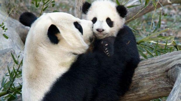 ¿Por qué es tan difícil saber si una panda está preñada?